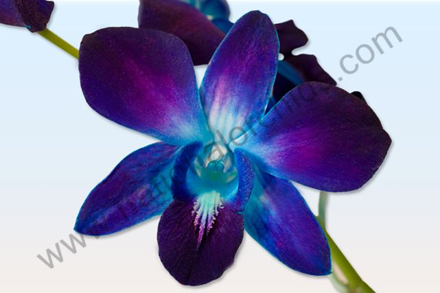 orchids from thailand national orchids inc