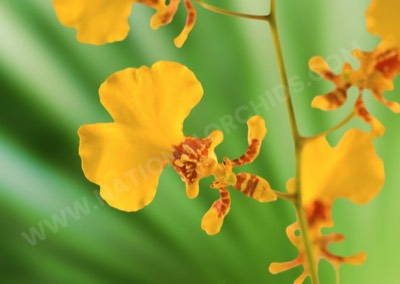 Oncidiums Golden Shower